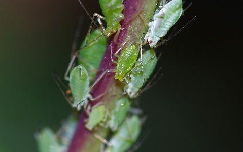Petit rappel sur la lutte bio contre les pucerons