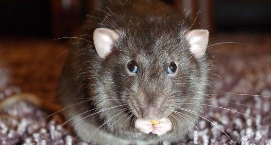 Lutter contre les rats au jardin
